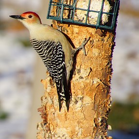 A77 and Tamron 16-300mm Red Bellied Woodpecker