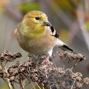 Identifiation of Warbler, Help Please