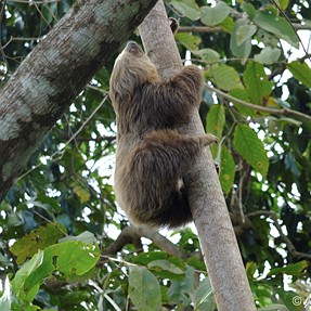 XS-1 captures a sloth