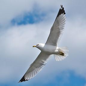 Birds in Flight OVF vs EVF