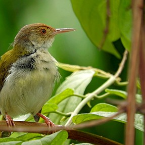 A Tailorbird with the P610