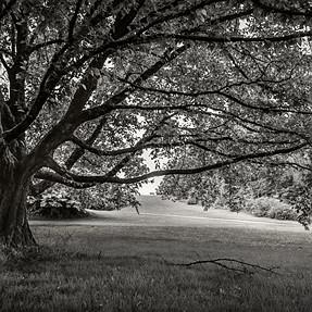Oak Tree, Queen Elizabeth Park, Vancouver, BC