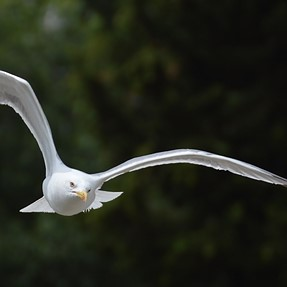 New to bird photography - sea gull