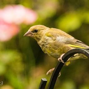 Birds in the garden and the predator
