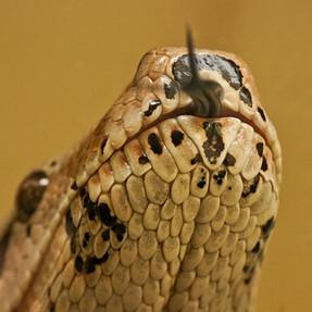 Pythons on the loose . SSssssss