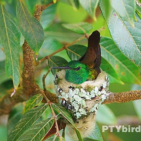 Rufous tailed hummingbird nest with chicks