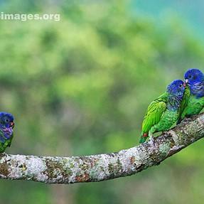A few birds from Panama