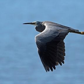 300mm f4: Herons, Egrets and Spoonbills