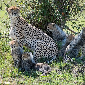 Cheetah with 5 cubs - Mara safari