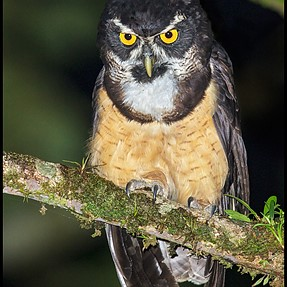 Spectacled Owl (Costa Rica)