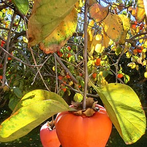 The ZR700 Looks at Persimmons