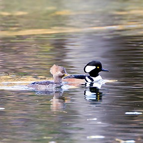 Hooded Mergansers and Wood Ducks