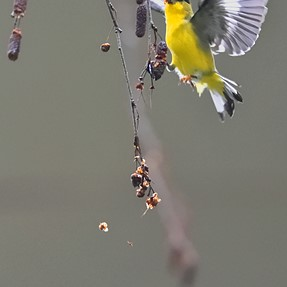 Yellow Finch from this morning