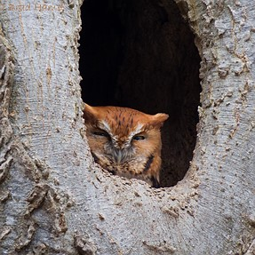 SX50 shoots a red phased eastern screech owl
