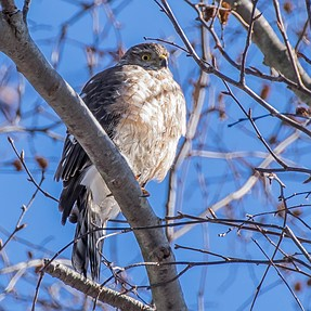 Raptor experts... hawk ID
