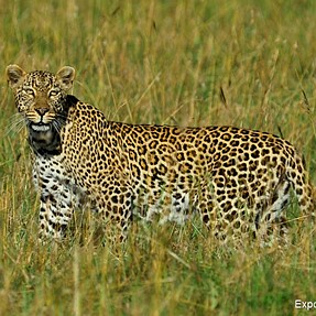 Leopard on the Prowl
