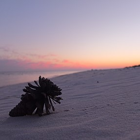 How did a pine cone end up on the beach?