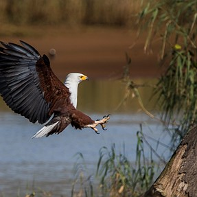African Fish Eagle and Pied Kingfisher