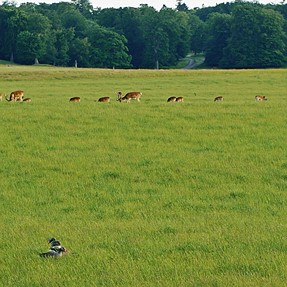 3 Geese in a field..