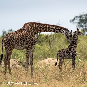 Giraffe mother and young one