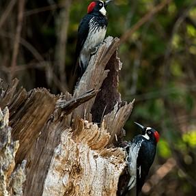 Acorn Woodpecer