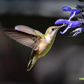 Hummingbird - for play