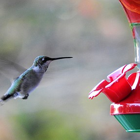 hummingbird photo question
