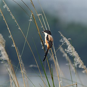 Longtail Shrike