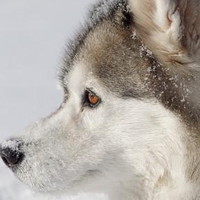 Rescued Siberian Huskies