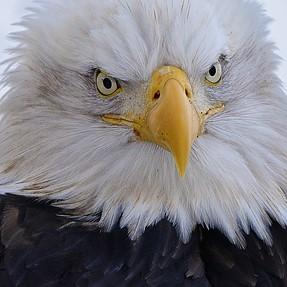 Bald Eagles of Alaska - Got to love the Eagles !