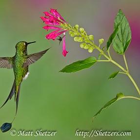Hummingbirds of Ecuador