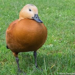 Duck ID please, Nantes, Pays de la Loire