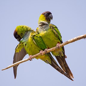 Nanday Parakeets Fort Myers, FL