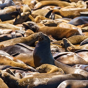 In a sea of Sea Lions
