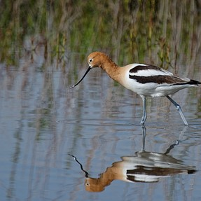 Avocets,Burrowing Owls, and friends