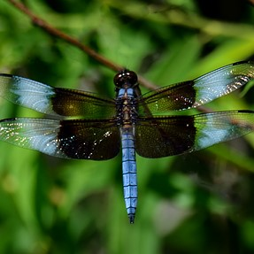 Widow Skimmer, Holloween Pennant, House Sparrows, and ?