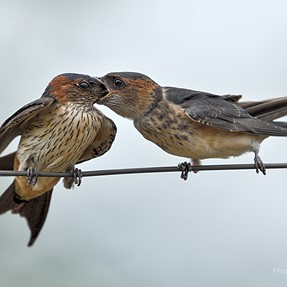 D500+ 200-500mm: Feeding swallows
