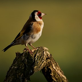 Photos of a Goldfinch